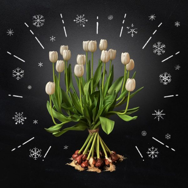 Tulipa Royal Virgin - white tulips with bulb bouquet - BOLT Amsterdam